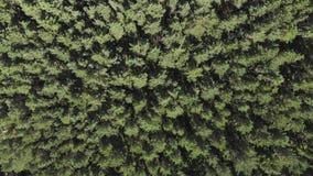 Widok z lotu ptaka, kamera rusza się wydźwignięcie od w górę sosen lasowych zbiory