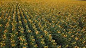 Widok z lotu ptaka: latać nad słonecznikowy pole przy zmierzchem Kamera rusza się wolno dobro Słonecznik kwitnie zbiory