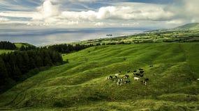 Widok z lotu ptaka na stadzie krowy stoi na zielenieje pole obraz stock