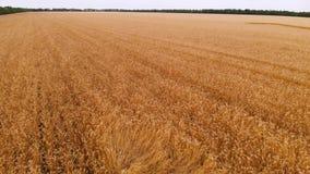 Widok z lotu ptaka od dojrzałego pszenicznego pola Panoramiczny ruch nad banatką Produkcja rolna chleb w 4k postanowieniu zbiory