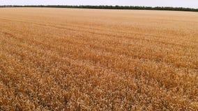 Widok z lotu ptaka od dojrzałego pszenicznego pola Panoramiczny ruch nad banatką Produkcja rolna chleb w 4k postanowieniu zdjęcie wideo