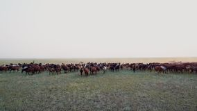Widok z lotu ptaka pastwiskowy koński stada cwałowanie na stepie na zmierzchu zbiory