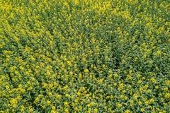 Widok z lotu ptaka rapeseed żółty pole Widok z lotu ptaka rolniczy Fotografia Royalty Free