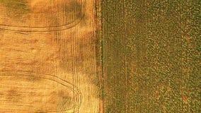 Widok z lotu ptaka wierzchołek Zieleń i żółty pszeniczny pole zdjęcie wideo