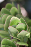 Widok zieleni kaktusowi liście Zdjęcia Stock