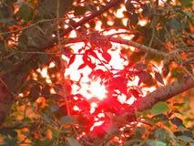 Widok zmierzch przez topoli opuszcza w Lipu Zdjęcie Stock