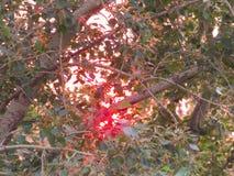 Widok zmierzch przez topoli opuszcza w Lipu Zdjęcia Stock