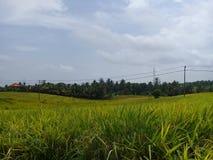 Widoki ryżowi pola w tabanan terenach fotografia royalty free
