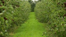 Widoku puszek zielona nawa w jabłczanym sadzie zdjęcie wideo
