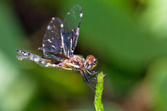 Widow Dragonfly Royalty Free Stock Photo