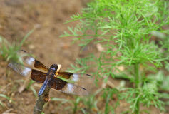 Widow Skimmer. An Adult male Widow Skimmer (Libellula luctuosa) dragonfly resting on a stick with room for your text Royalty Free Stock Photo