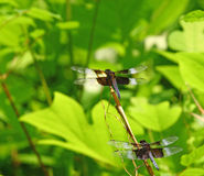Widow skimmer. Two adult male widow skimmer (Libellula luctuosa) dragonlies lined up for takeoff on a twig using selective focus and a shallow depth of field Stock Images