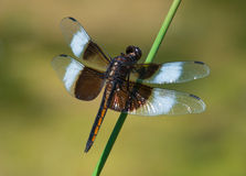 Widow Skimmer Royalty Free Stock Images