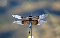 Widow Skimmer Royalty Free Stock Image