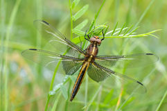 Widow Skimmer dragonfly Stock Photo