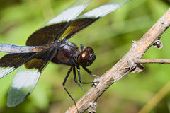 Widow Skimmer Dragonfly Royalty Free Stock Image