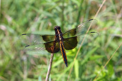 Widow Skimmer Dragonfly. In Morning Sun Royalty Free Stock Photo