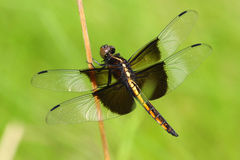 Widow Skimmer Dragonfly Female. Warming On Reed Stock Image