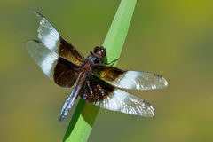 Widow Skimmer Dragonfly Stock Photos