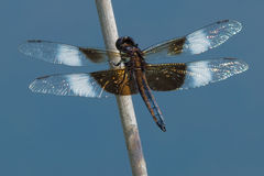 Widow Skimmer Dragonfly Stock Images