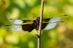 Widow Skimmer Dragonfly Stock Image