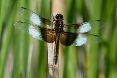 Widow Skimmer Dragonfly Royalty Free Stock Photos