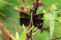 Widow Skimmer Dragonfly Portrait Royalty Free Stock Image
