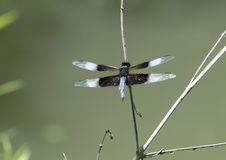 Widow Skimmer Dragonfly resting on a twig. Pictured is an adult male Widow Skimmer Dragonfly resting on a twig by a pond in the Heard Wildlife Sanctuary in Royalty Free Stock Images