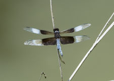 Widow Skimmer Dragonfly resting on a twig. Pictured is an adult male Widow Skimmer Dragonfly resting on a twig by a pond in the Heard Wildlife Sanctuary in Stock Photography