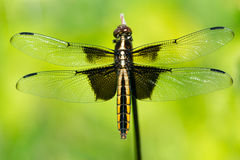 Widow Skimmer II Stock Photography