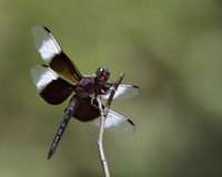 Widow Skimmer (Libellula luctuosa) Royalty Free Stock Photos