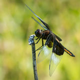 Widow Skimmer V Royalty Free Stock Photography