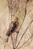 Widowbird coupé la queue par fan Photo libre de droits