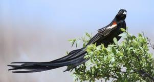 Widowbird de cola larga que se sienta en un cepillo para descansar después de la exhibición f Imagen de archivo