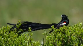 Widowbird Long-tailed affichant hors fonction l'arrière photos libres de droits