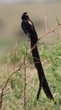 Widowbird Long-tailed na filial fotografia de stock royalty free