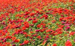 Widowisko kwiaty Zdjęcie Stock