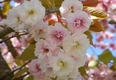 Widowiskowego i jaskrawego Prunus Kanzan Kwiatonośnej wiśni Japońska dwoista warstwa kwitnie przeciw niebieskiego nieba tłu Sakur zdjęcie royalty free