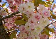 Widowiskowego i jaskrawego Prunus Kanzan Kwiatono?nej wi?ni Japo?ska dwoista warstwa kwitnie przeciw niebieskiego nieba t?u Sakur obrazy royalty free