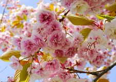 Widowiskowego i jaskrawego Prunus Kanzan Kwiatono?nej wi?ni Japo?ska dwoista warstwa kwitnie przeciw niebieskiego nieba t?u Sakur zdjęcia stock