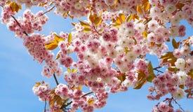 Widowiskowego i jaskrawego Prunus Kanzan Kwiatono?nej wi?ni Japo?ska dwoista warstwa kwitnie przeciw niebieskiego nieba t?u Sakur fotografia royalty free