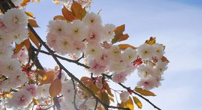 Widowiskowego i jaskrawego Prunus Kanzan Kwiatono?nej wi?ni Japo?ska dwoista warstwa kwitnie przeciw niebieskiego nieba t?u Sakur obrazy stock