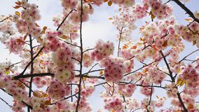 Widowiskowego i jaskrawego Prunus Kanzan Kwiatono?nej wi?ni Japo?ska dwoista warstwa kwitnie przeciw niebieskiego nieba t?u Sakur zdjęcie stock