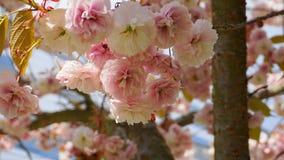 Widowiskowego i jaskrawego Prunus Kanzan Kwiatono?nej wi?ni Japo?ska dwoista warstwa kwitnie przeciw niebieskiego nieba t?u Sakur zdjęcie royalty free