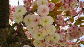 Widowiskowego i jaskrawego Prunus Kanzan Kwiatono?nej wi?ni Japo?ska dwoista warstwa kwitnie przeciw niebieskiego nieba t?u Sakur zdjęcia royalty free