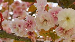 Widowiskowego i jaskrawego Prunus Kanzan Kwiatono?nej wi?ni Japo?ska dwoista warstwa kwitnie przeciw niebieskiego nieba t?u Sakur fotografia stock