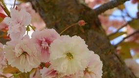 Widowiskowego i jaskrawego Prunus Kanzan Kwiatono?nej wi?ni Japo?ska dwoista warstwa kwitnie przeciw niebieskiego nieba t?u Sakur obraz royalty free