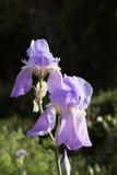 Widowiskowi fiołkowi kwiaty irys Zdjęcia Stock