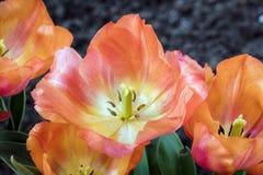 Widowiskowi Koralowi tulipany Zdjęcie Royalty Free