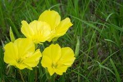 Widowiskowi Missouri wieczór pierwiosnku wildflowers obraz stock
